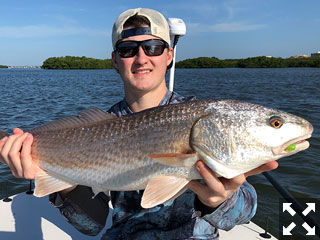 Redfish of all sizes continue to be plentiful in the waters around Sarasota.
