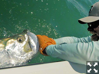 May should be a great month to fly fish for tarpon in the coastal gulf.