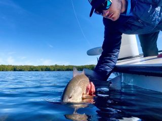 Redfish are present in high numbers right now in the shallow waters throughout the Sarasota area.